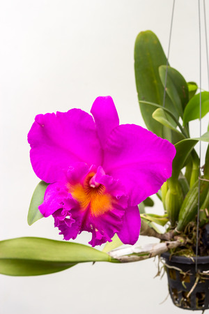 bright cattleya orchid flower isolate on white background