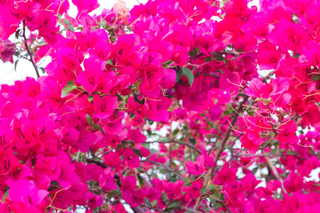 color bougainvillea: Red blooming bougainvilleas Stock Photo