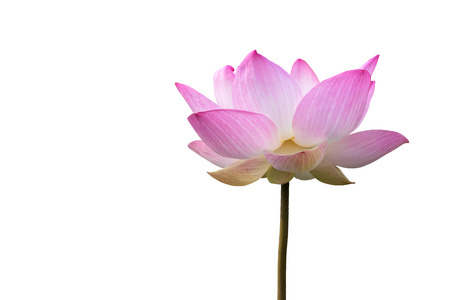 big flower: Close-up big pink lotus isolate on white background with clipping path. Stock Photo