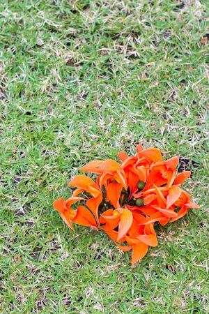 scrub grass: Flame of the forest(Butea monosperma O.Ktze, Leguminosae-Papilio noideae) on green grass. Stock Photo