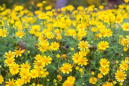 golden daisy: Dahlberg Daisy or Golden Fleece flower. Stock Photo
