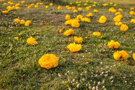 Yellow Silk Cotton Tree Flowers (Cochlospermum regium) Stock Photo