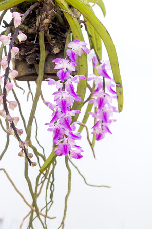 Rhynchostylis retusa orchid blooming in Thailand. isolate on white background.