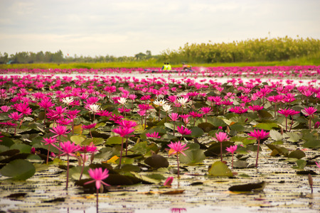 Lotus field Lake large in Udon Thani of Thailand