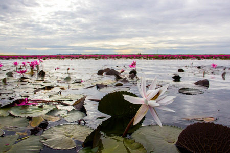 Lotus field Lake large in the morning in Udon Thani of Thailand