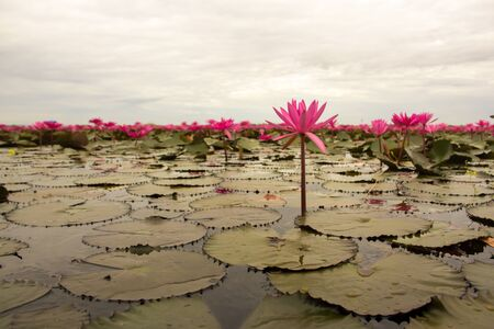 thani: Lotus field Lake large in Udon Thani of Thailand