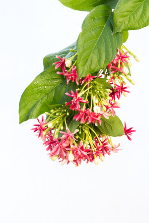 Quisqualis indica also known as the Chinese honeysuckle, Rangoon Creeper, and Combretum indicum isolate on white background