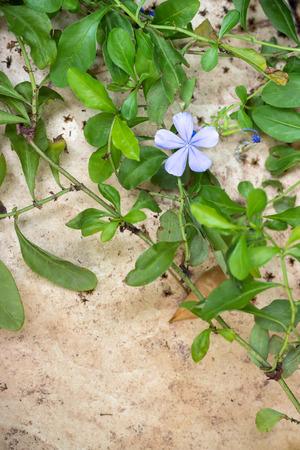 Plumbago auriculata Lam Flower. (leadworth flower)