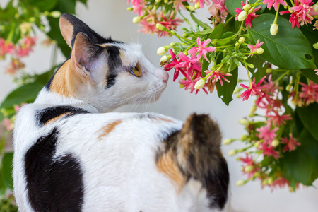 smelling: Thai cat smelling flowers Stock Photo
