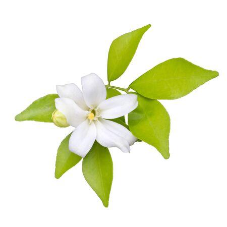 jessamine: Arancione Jessamine fiori (raso-legno, Cosmetic Bark Tree) isolare su sfondo bianco
