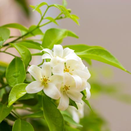 jessamine: Arancione Jessamine fiori (raso-legno, Cosmetic corteccia degli alberi) con gocce dopo la pioggia.