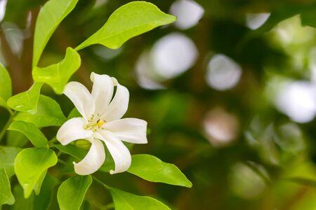 jessamine: Orange Jessamine flowers (Satin-wood, Cosmetic Bark Tree). Archivio Fotografico