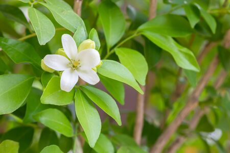 jessamine: Orange Jessamine flowers Satin-wood, Cosmetic Bark Tree
