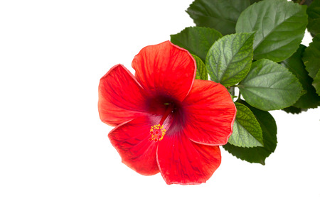 red hibiscus flower isolated on white