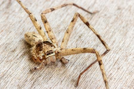 araneae: brown spider (Huntsman spiders),It left 4 legs