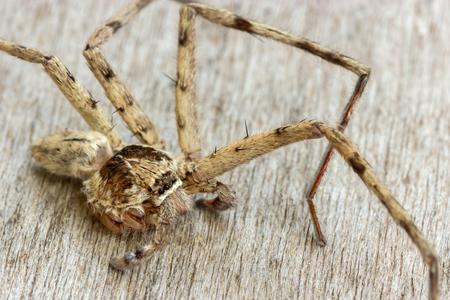 philodromus: brown spider (Huntsman spiders),It left 4 legs