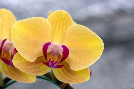 cattleya: Cattleya orchid (Tainan Gold)