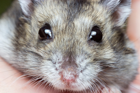 dwarf hamster: Close-up face of Winter White Russian Dwarf Hamster