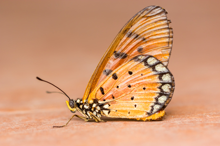 danaus: beautiful yellow butterfly (Plain Tiger, Danaus chrysippus)
