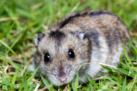 Close-up face of Winter White Russian Dwarf Hamster on grass.