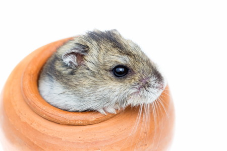 dwarf hamster: Close-up face of Winter White Russian Dwarf Hamster out of mini jar.Isolate on white background.