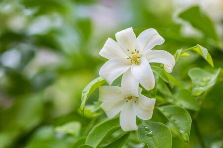 jessamine: Orange Jessamine flowers (Satin-wood, Cosmetic Bark Tree)