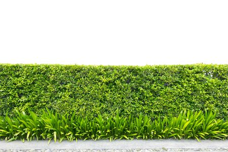 trimed shrub fence isolated on white with clipping path Stock Photo
