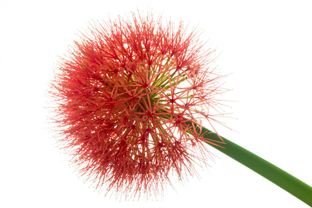 red sphere: red sphere flower(fireball lily) isolate on white background Stock Photo