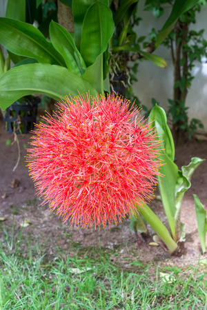 red sphere flower(fireball lily) in courtyard Stock Photo