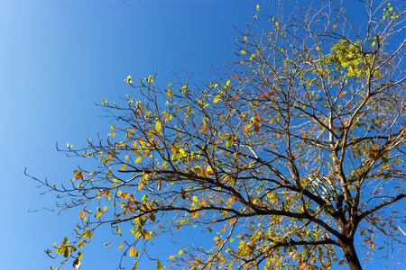 is cloudless: Tree and cloudless blue sky,