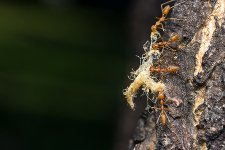 Macro of Foraging red ants.