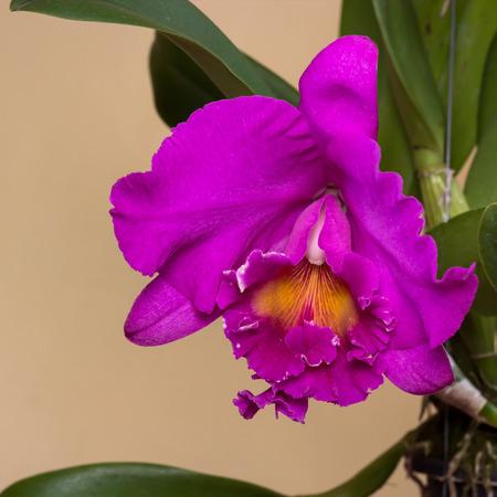 cattleya: bright cattleya orchid flower
