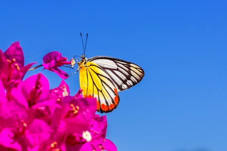 femme papillon: Butterfly over pink bougainvillea flowers Banque d'images