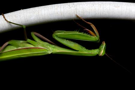 insecta: Macro Mantis on black background. Stock Photo