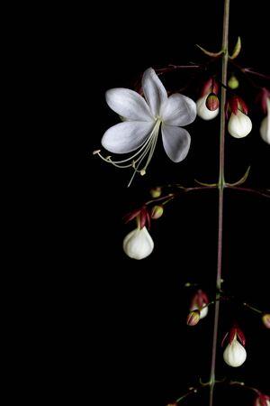 nodding: Nodding Clerodendron (Clerodendrum wallichii) on black background.