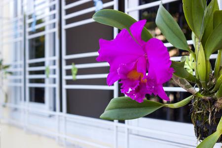 cattleya orchid: Pink bright cattleya orchid flower