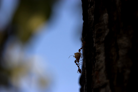 silhouette of Foraging red ants.