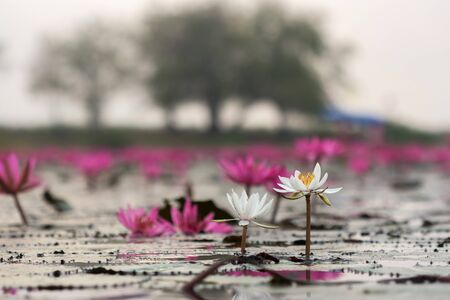 White lotus in Lotus field Lake large in Udon Thani of Thailand