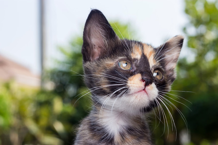 Thai cat, close up face of tricolor kitten.