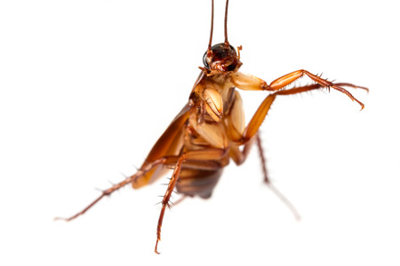 Flying cockroach.