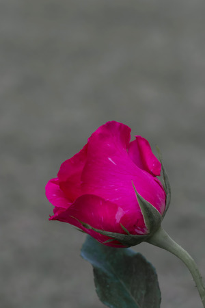 pale color: Red color rose isolated on pale color background