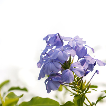 Plumbago auriculata Lam Flower. (leadworth flower) on white background Stock Photo