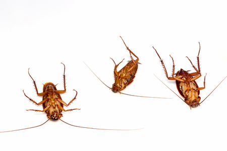 overturn: Three dead cockroaches turn face up on floor, isolate on white background. Stock Photo