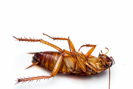 Dead cockroach turn face up on floor, isolate on white background. Stock Photo
