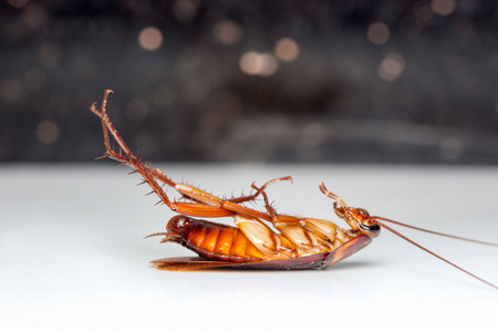 Dead cockroach turn face up on floor with reflection.