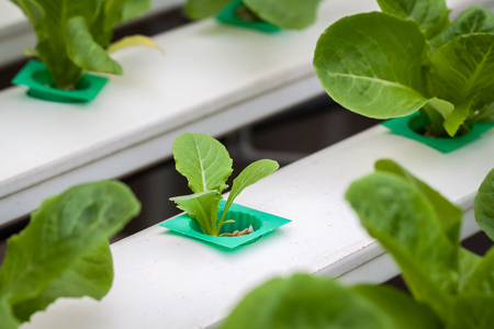 Hydroponics method of growing plants using mineral nutrient solutions, in water, without soil. Close up Hydroponics plant Stock Photo