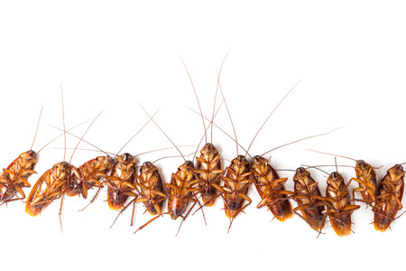 Dead cockroaches turn face up on floor, isolate on white background.