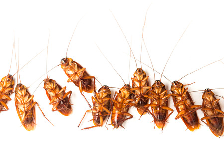 overturn: Dead cockroaches turn face up on floor, isolate on white background.