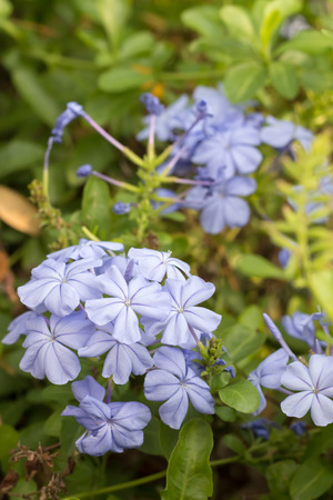 auriculata: Plumbago auriculata Lam Flower. (leadworth flower)