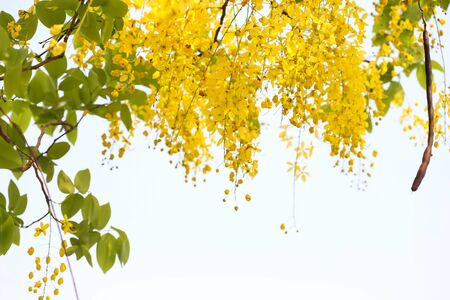 fistula: Golden shower(Cassia fistula) in Thailand on white background.